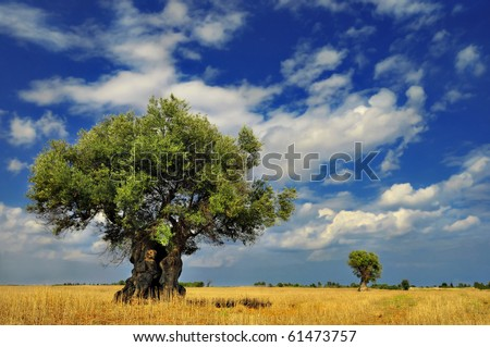Olive trees in the field against vivid sky with clouds - stock photo