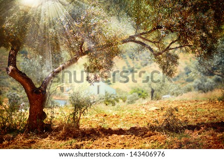 Olive Trees. Mediterranean olive field with old olive tree - stock photo