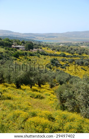Olive trees on a hill slope, vertical - stock photo