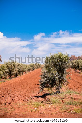 Olive trees orchard in spring, in Turkish countryside. - stock photo