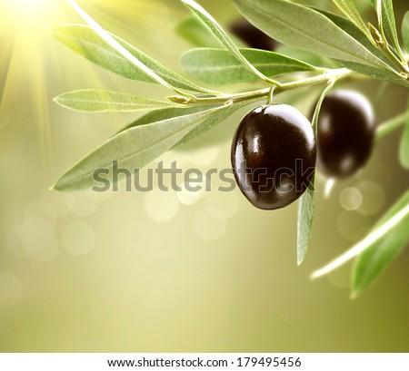 Olives. Black Ripe Olive on a tree. Food Border Design. Growing Olives  - stock photo