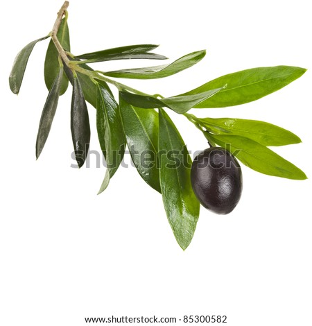 olives  branch with black  olive  on a white background - stock photo