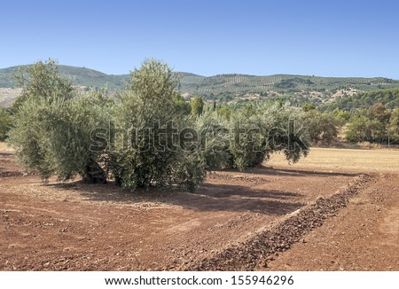 Olives fields situated in the province of spain called Jaen, it�´s a sunny day. - stock photo