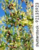 Olives Fruit on the Tree - stock photo