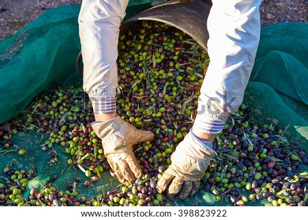 Olives harvest picking hands with gloves at Mediterranean - stock photo
