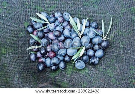 Olives in a net freshly picked  - stock photo