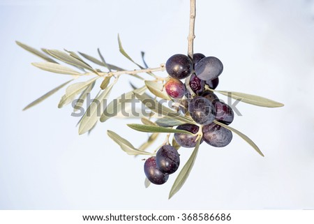 Olives, Olea europaea, sprig with ripe black olives against a white background