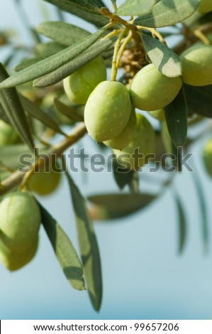 Olives on a tree against blue sky - stock photo