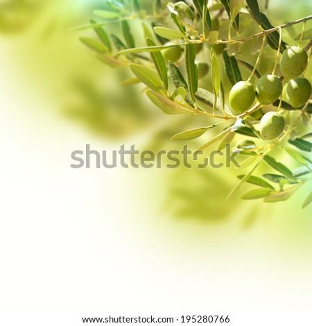Olives on olive tree in autumn. - stock photo