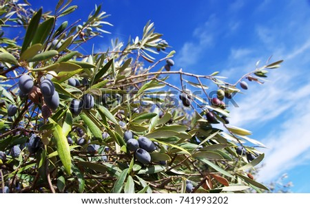 olives on the branch of an olive tree