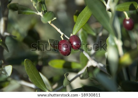 Olives on the vine, ready to be picked - stock photo