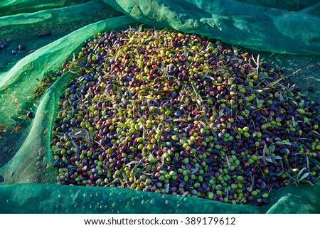Olives texture in harvest with net at Mediterranean - stock photo