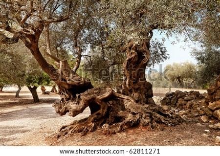 Olives Tree - stock photo