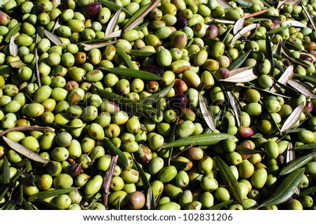 Olives tree harvest. - stock photo