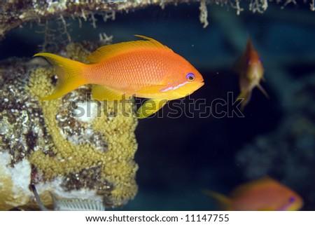 oman anthias (pseudoanthias marcia) - stock photo