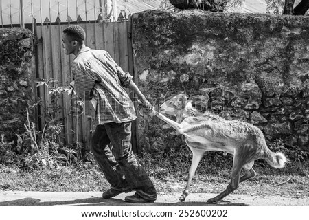 OMO, ETHIOPIA - SEPTEMBER 21, 2011: Unidentified Ethiopian man pulls a ram. People in Ethiopia suffer of poverty due to the unstable situation