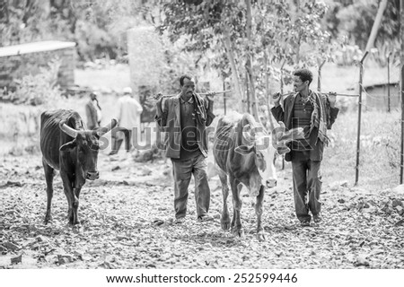 OMO, ETHIOPIA - SEPTEMBER 21, 2011: Unidentified Ethiopian men walk with cows. People in Ethiopia suffer of poverty due to the unstable situation