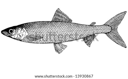 Omul - fish living in coastal parts of the Arctic Ocean. Spawning - rivers of eastern Siberia (excluding the Ob river) and rivers of Alaska and Canada. In the sea bottom is fed by large crustaceans