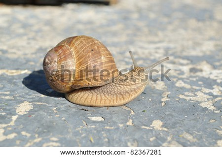On a concrete slab large snail crawling, side view - stock photo