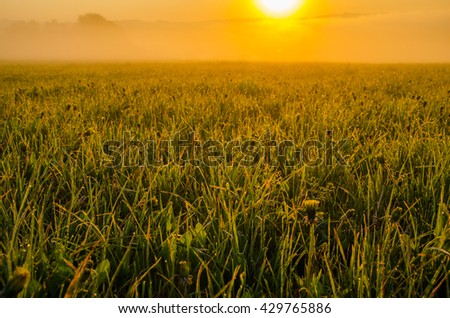 on a green lawn in the early foggy morning . dew on the lush green grass a summer misty morning. the sun's rays fall on the wet grass and flowers. dew on the grass in a summer misty morning.  - stock photo
