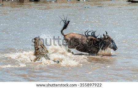 On a hair from death. \ Crossing through the river Mara.The antelope Blue wildebeest  ( connochaetes taurinus ),  has undergone to an attack of a crocodile. - stock photo