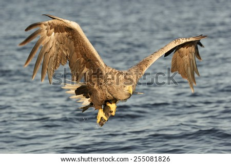 On a sunny winter day a mature male White-tailed Eagle flies low to the water with his catch and looks directly at the camera as he flies to a nearby rock outcrop to consume his winter meal. - stock photo
