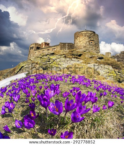 On the Montenegrin Ridge, Black Mountain - Pop Ivan is old Polish observatory, against which the first spring bloom beautiful alpine flowers - crocus, saffron. May thunderstorm. - stock photo