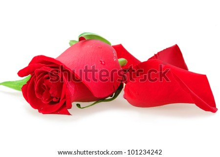One a red bud-flower of rose. Close-up. Placed on white background. Studio photography. - stock photo