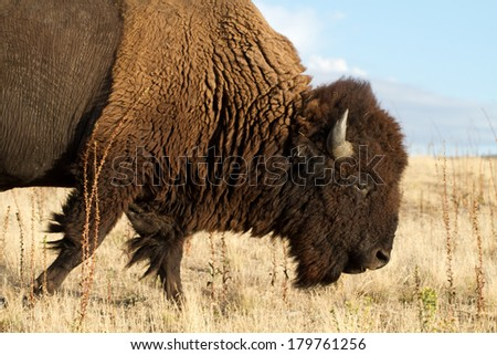 One adult Bison or Buffalo walks across a field in Antelope Island State Park in Utah - stock photo