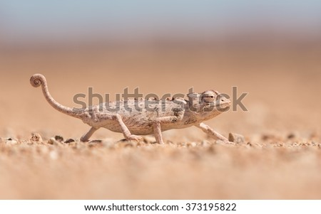 One adult namaqua chameleon walking in Namibia - stock photo
