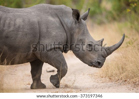 One adult white rhino walking in Kruger Park South Africa - stock photo