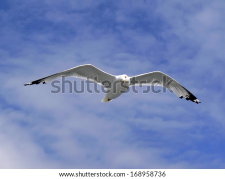 One american herring gull (larus smithsonianus or larus argentatus) flying in blue cloudy sky turning head