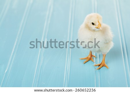 One baby chick on a blue background, spring time or Easter - stock photo