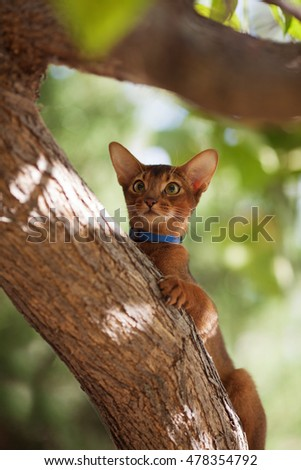 Abyssinian cats outdoors