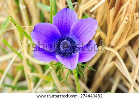 One beautiful violet anemone  flower in a grass - stock photo