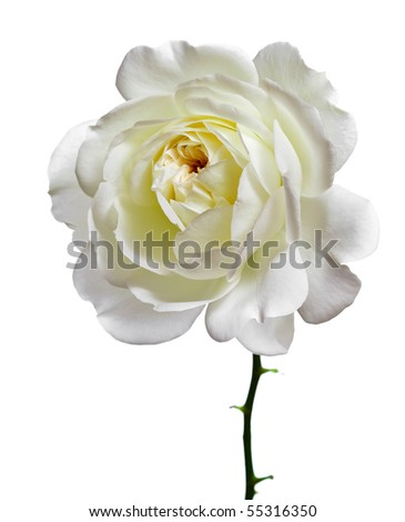 one beautiful white rose head close up isolated  on a white background - stock photo