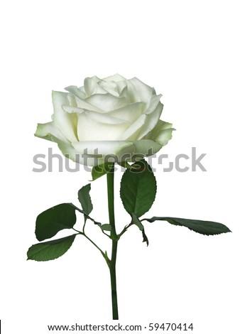 one beautiful white rose isolated on white . - stock photo