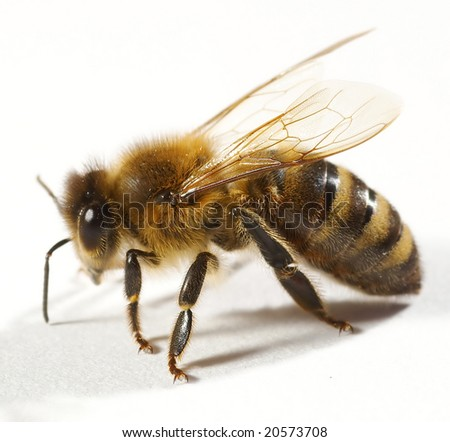 One bee isolated on white - stock photo