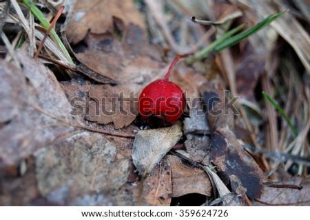One big berry of wild rose autumn. - stock photo