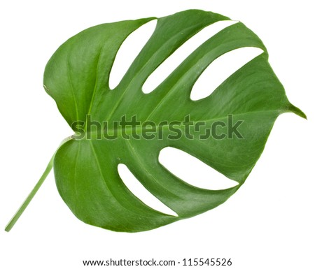 One Big green leaf of Monstera plant, isolated on white background  - stock photo