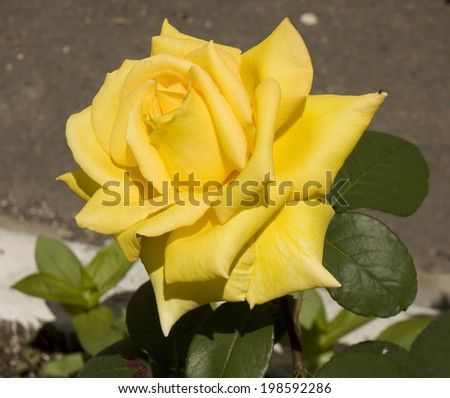 One big rose of yellow colour on grey background. - stock photo