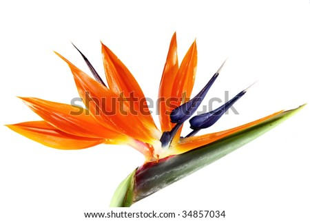 one bird of paradise flower on a white background - stock photo