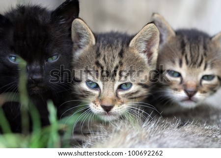 one black and two grey kittens are sitting in the grass - stock photo