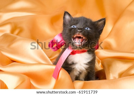 one black  beautiful fluffy little kitten,  on orange or gold background cloth , yell