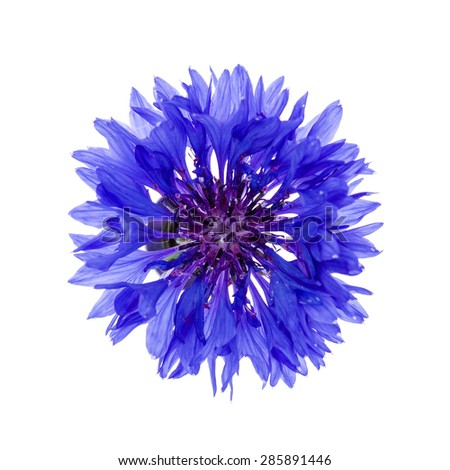 One blue cornflower flower isolated on white background, studio shot from above.