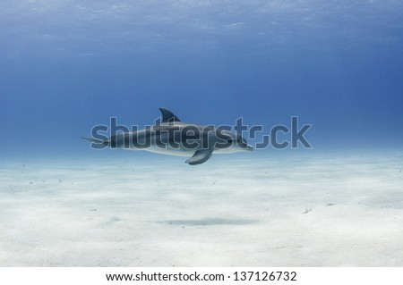 One bottle-nosed dolphin swims just above the sand - stock photo