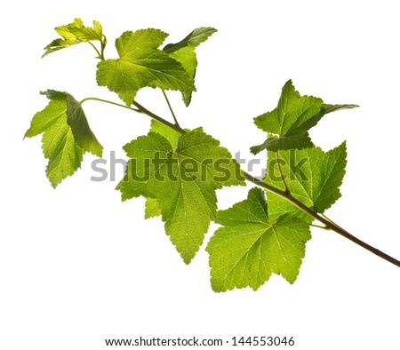 one branch of currant bush isolated on white background.