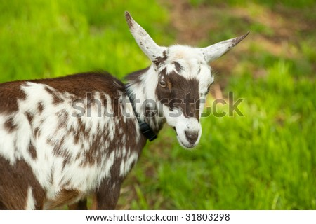 one brown and white goat looking at camera