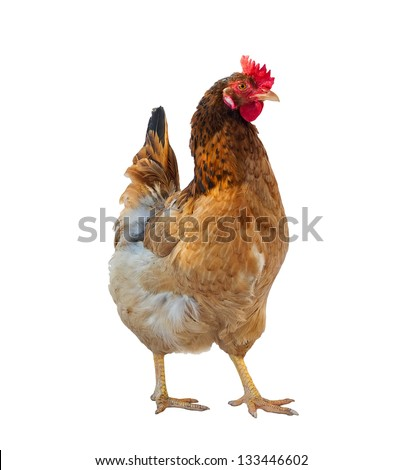 One brown hen isolated on white, studio shot. - stock photo
