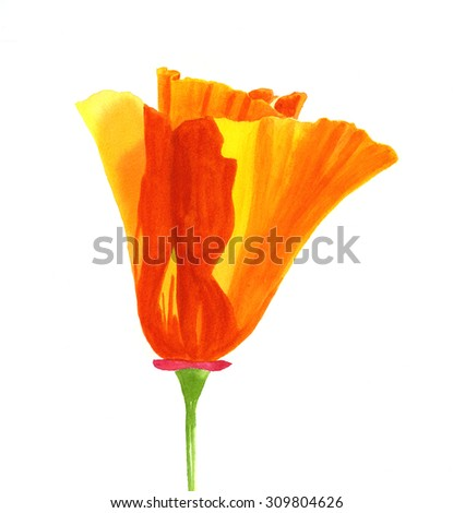 One California Poppy Flower.  Watercolor painting, illustration style, of one california poppy blossom with shadows from the sun on the petals. white background